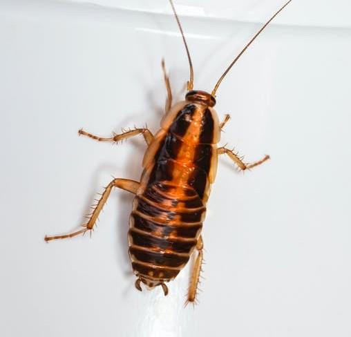 Sueño con cucarachas