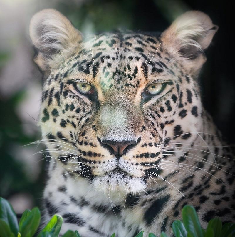 Cuento el jaguar