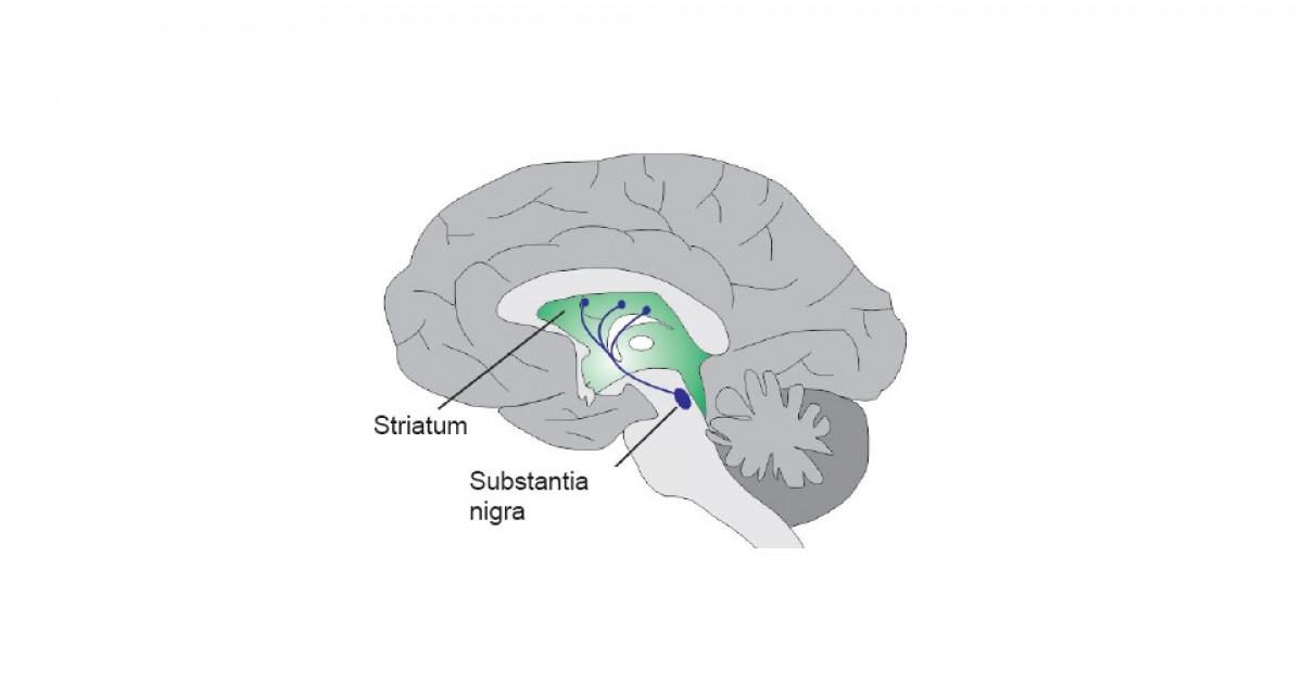 Vía nigroestriada del cerebro: estructuras y funciones