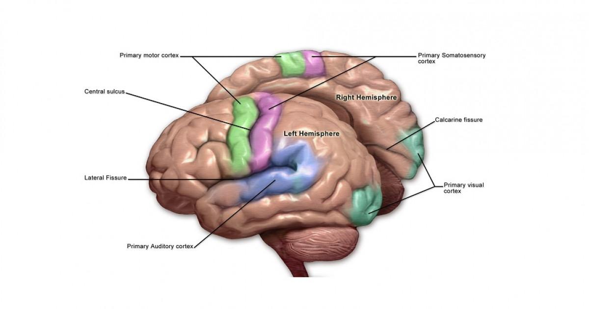 Corteza motora del cerebro: partes, ubicación y funciones