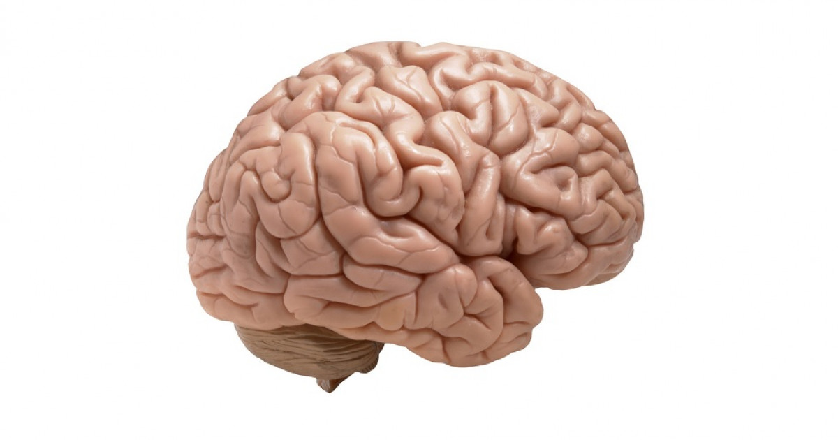 Cisura De Silvio Cerebro Que Es Funciones Y Anatomia