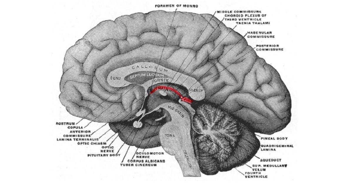 Epitálamo: partes y funciones de esta estructura cerebral