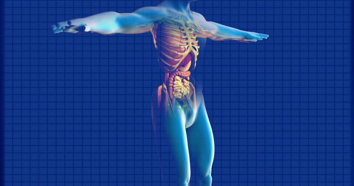 Los 25 principales órganos del cuerpo humano