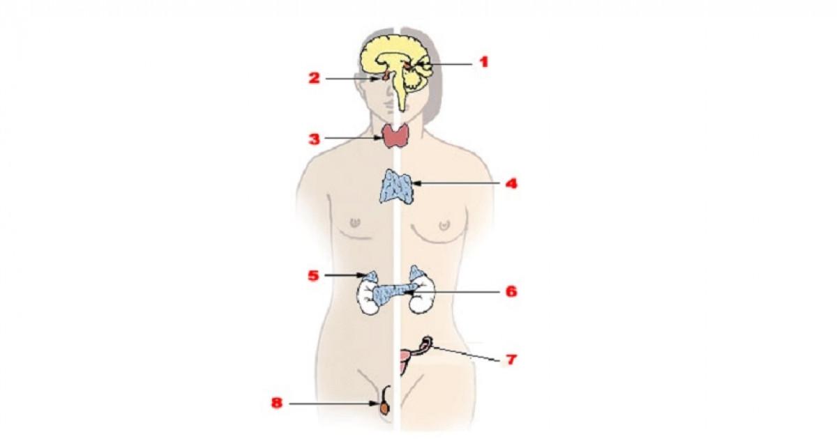 Sistema endocrino: anatomía, partes y funciones