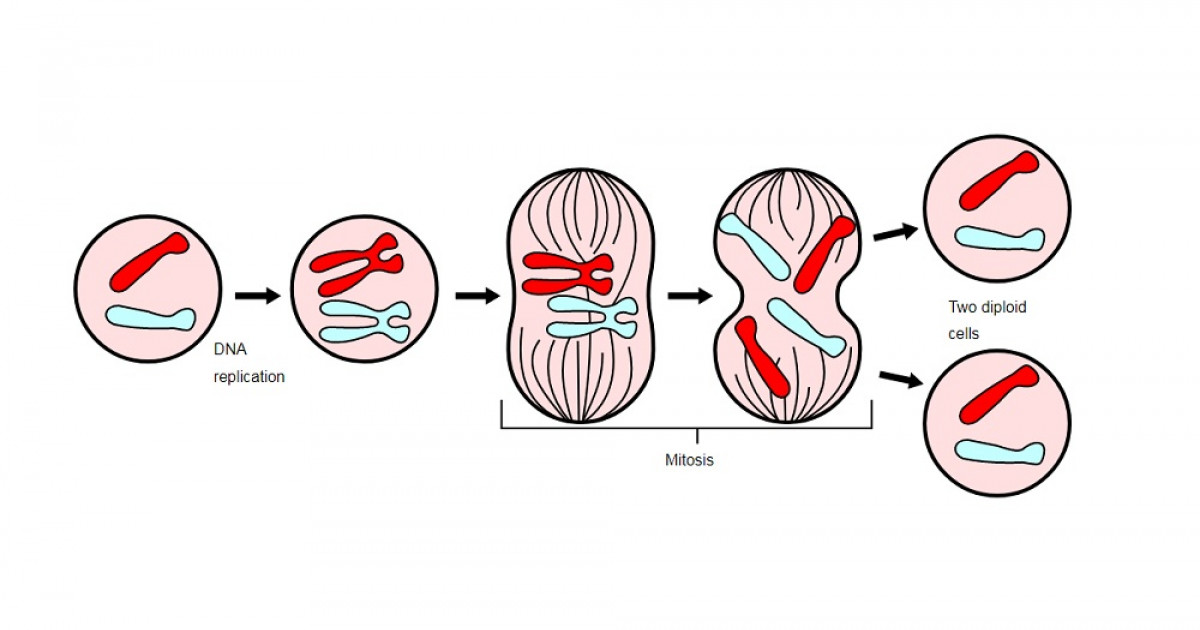 Las 4 fases de la mitosis as se duplica la c lula for Centrare un div