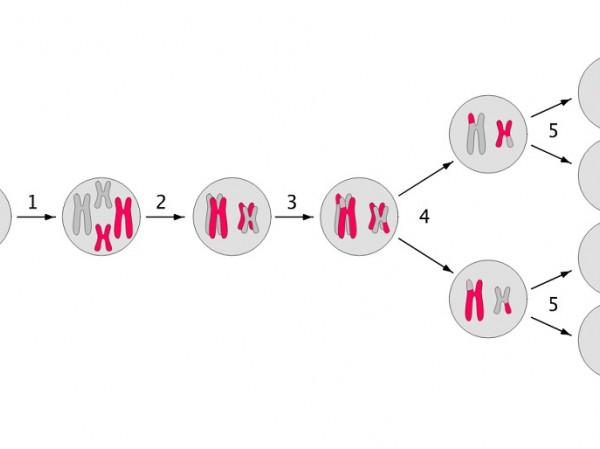 Diferencias de mitosis y meiosis yahoo dating