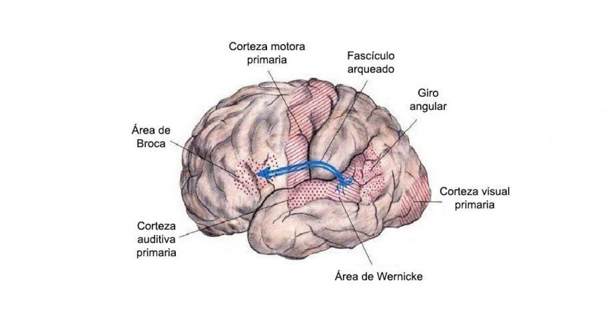 Fascículo arqueado del cerebro: localización y funciones