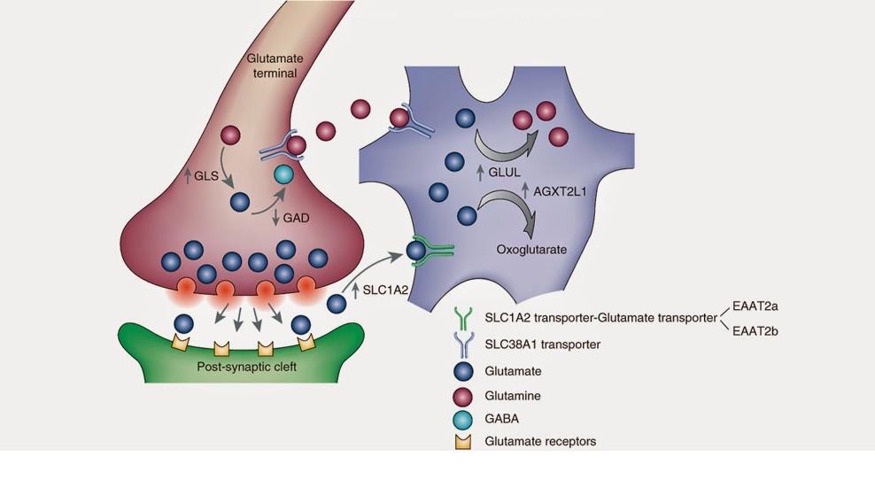 Resultado de imagen de El glutamato es el principal neurotransmisor del cerebro