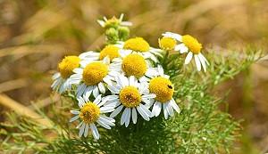 Las 50 Mejores Plantas Medicinales Sus Efectos Y