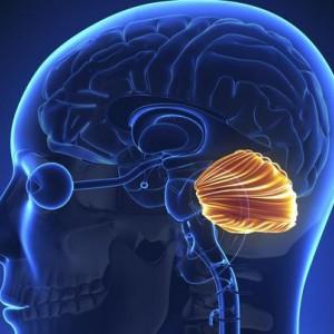 Cerebelo humano: sus partes y funciones