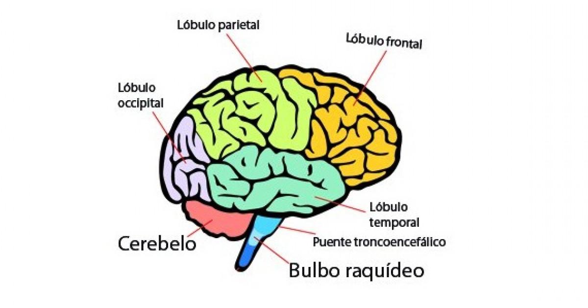 Partes Del Cerebro Humano (y Funciones
