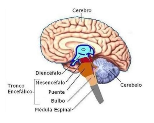 Partes del cerebro humano (y funciones)