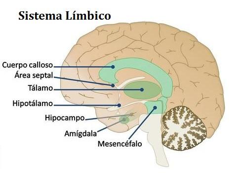 Sistema límbico: la parte emocional del cerebro