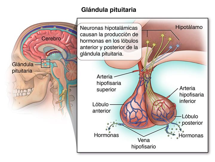 Glándula pituitaria (hipófisis): definición y funciones