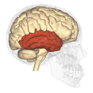 Lóbulo temporal: estructura y funciones
