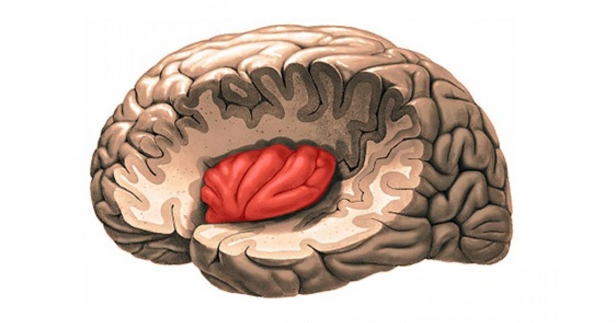 La ínsula Anatomía Y Funciones De Esta Parte Del Cerebro