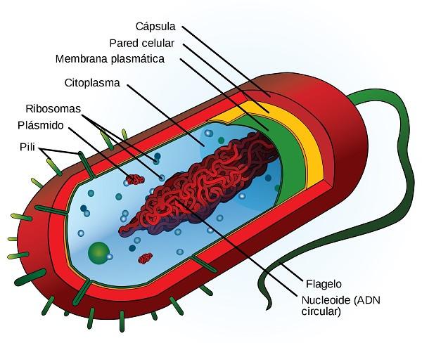 ADN circular