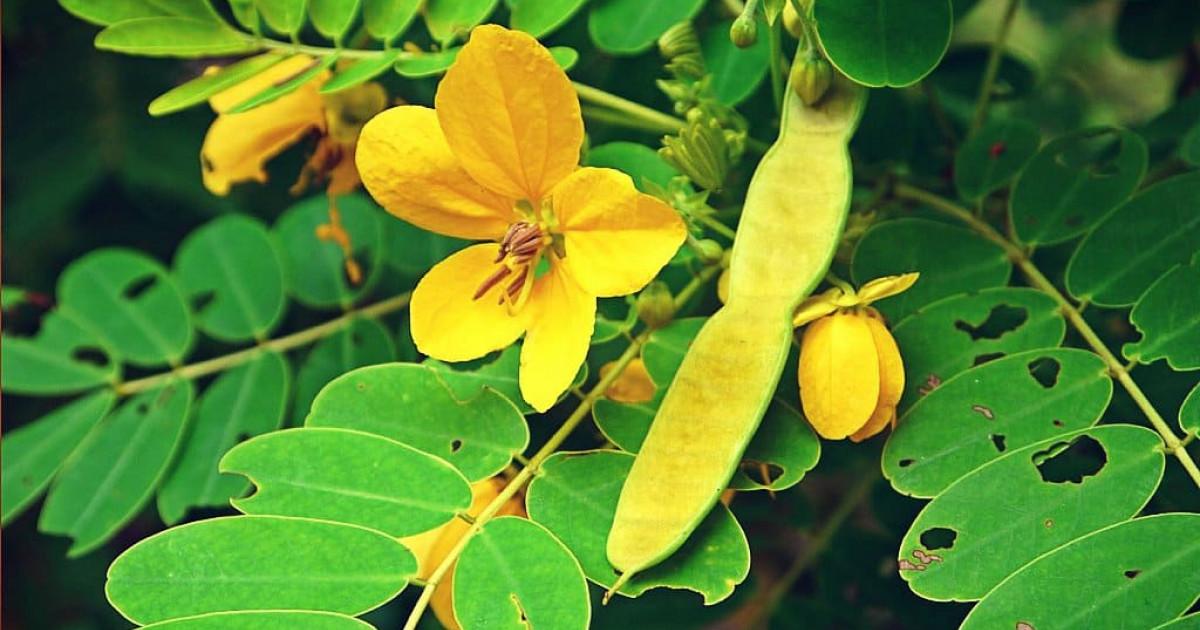 Hoja De Sen Qué Es Esta Planta Medicinal Y Cómo Tomarla