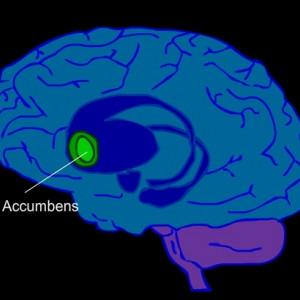 Núcleo accumbens: anatomía y funciones