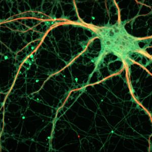 Neurotransmisores y neuromoduladores: ¿cómo funcionan?
