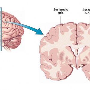 Materia gris del cerebro: estructura y funciones