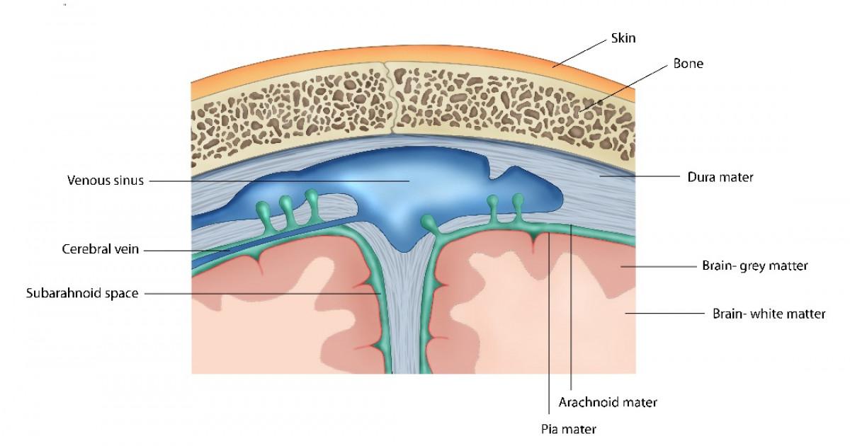 Duramadre (cerebro): anatomía y funciones