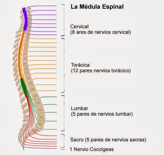 Médula espinal: anatomía, partes y funciones