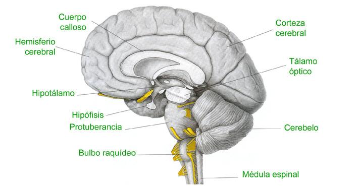 Bulbo raquídeo: estructura anatómica y funciones