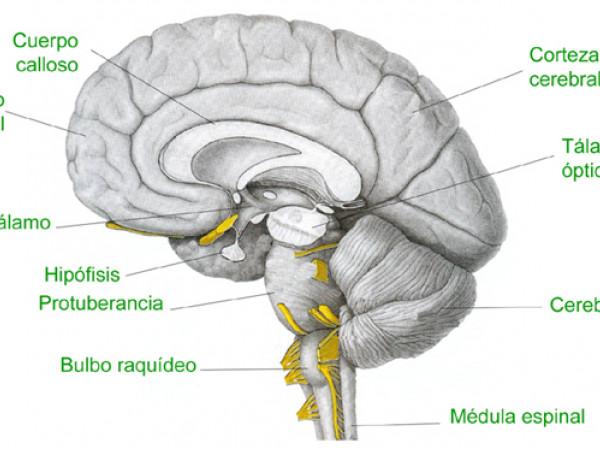 Bulbo Raquídeo Estructura Anatómica Y Funciones