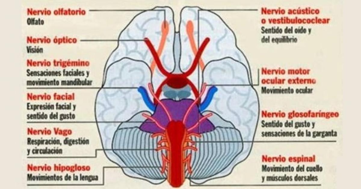 Sistema nervioso autónomo: estructuras y funciones
