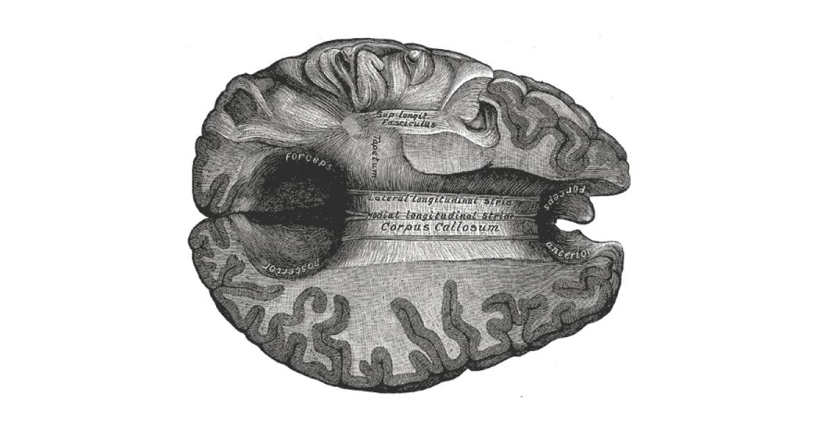 Cuerpo calloso del cerebro: estructura y funciones