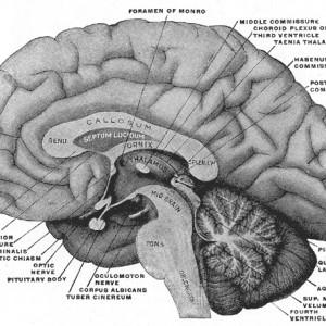 Glándula pineal (o epífisis): funciones y anatomía