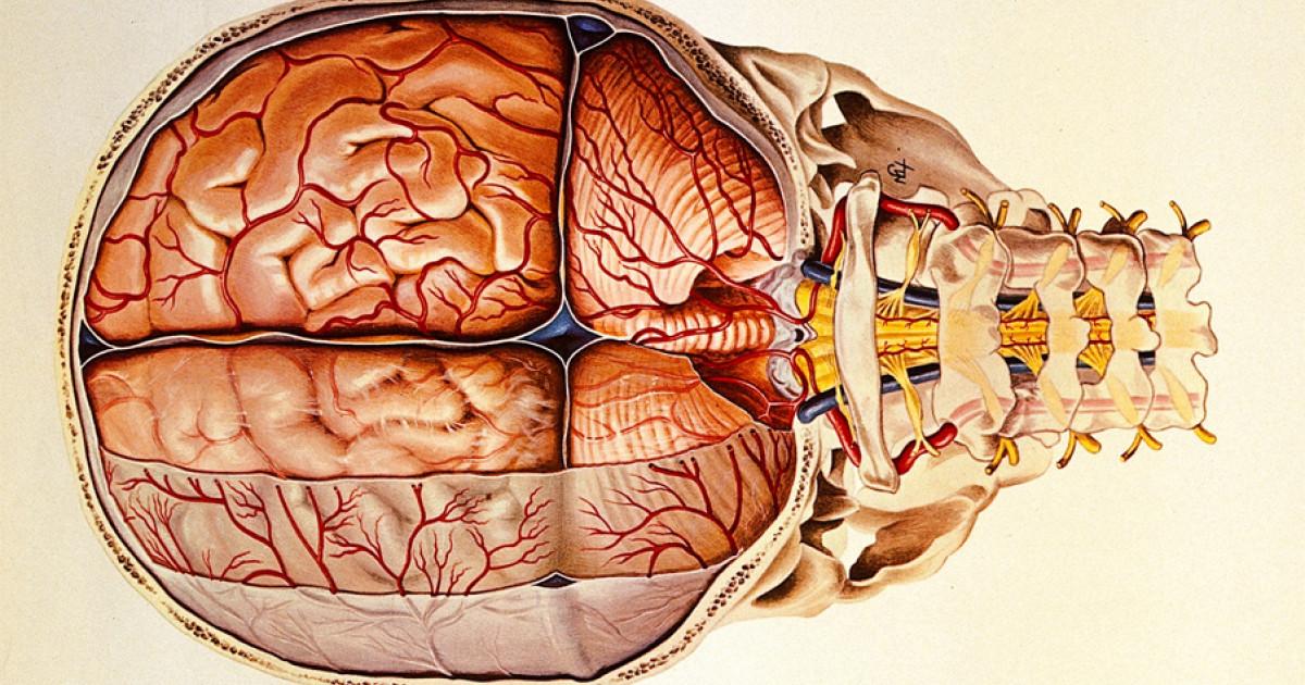 Meninges: anatomía, partes y funciones en el cerebro