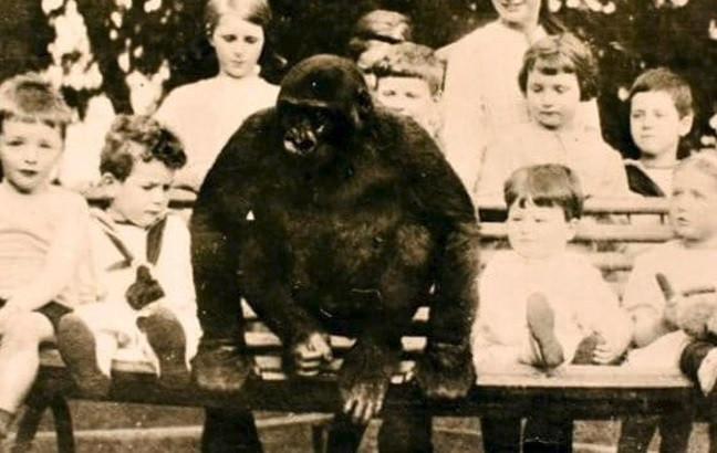 El increíble caso del gorila que fue criado como un niño más