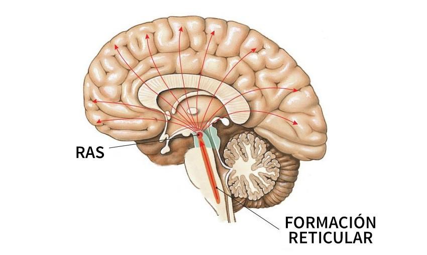 Formación reticular: características, funciones y enfermedades asociadas
