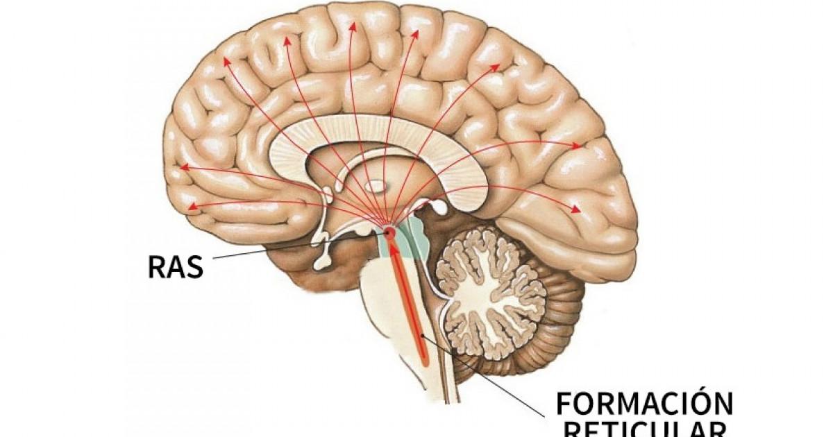 Formación reticular: funciones y enfermedades asociadas