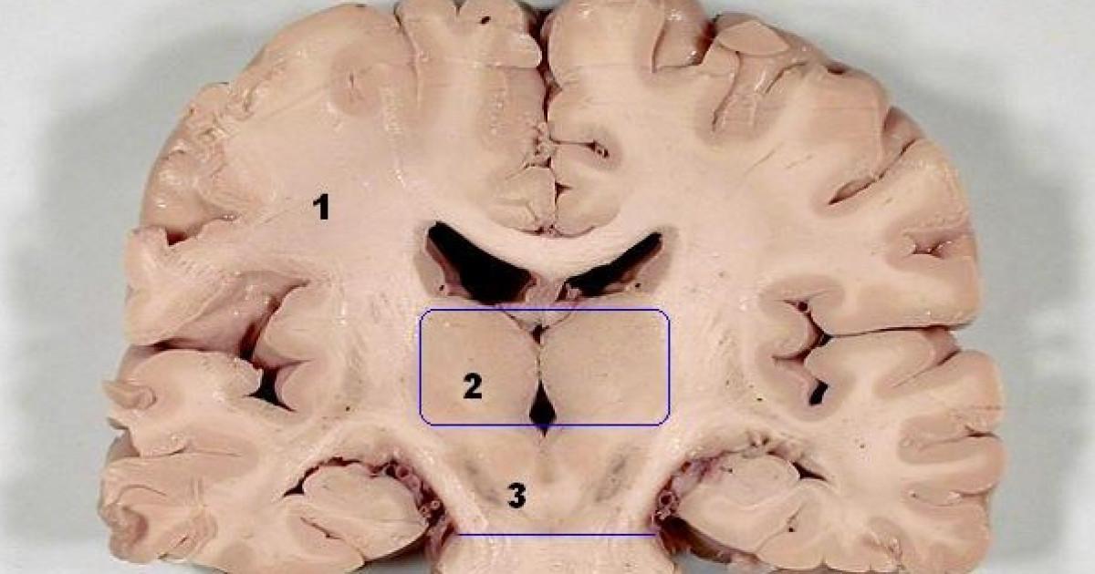 Mesencéfalo: características, partes y funciones