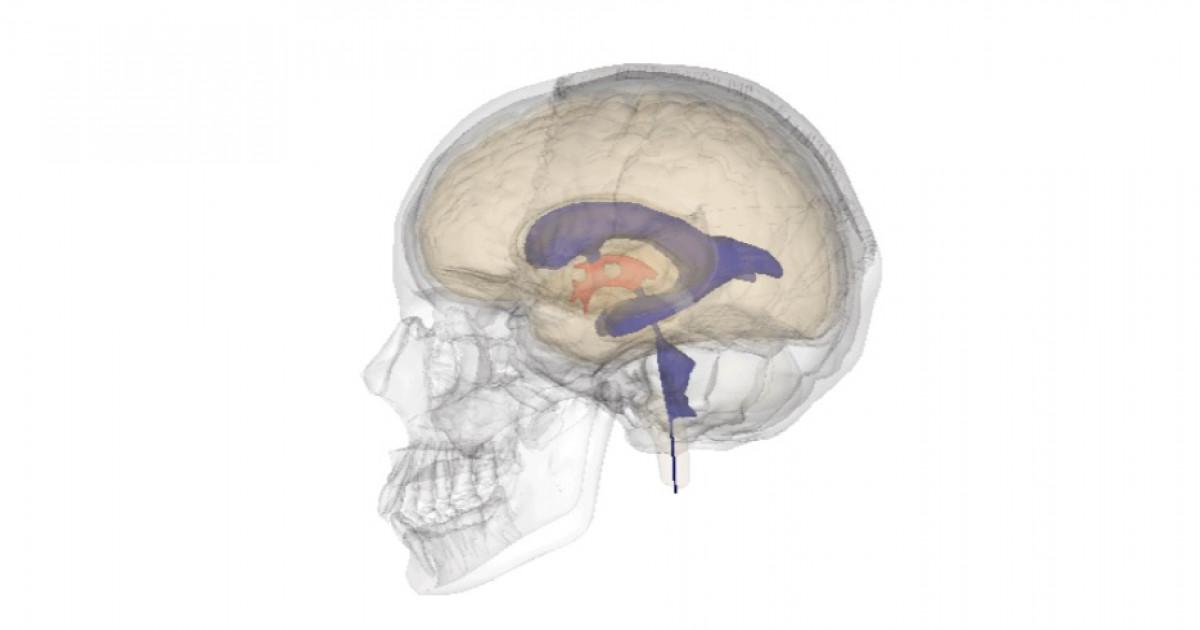 Ventrículos cerebrales: características y funciones