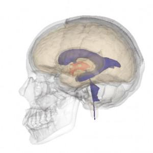 Ventrículos cerebrales: anatomía, características y funciones