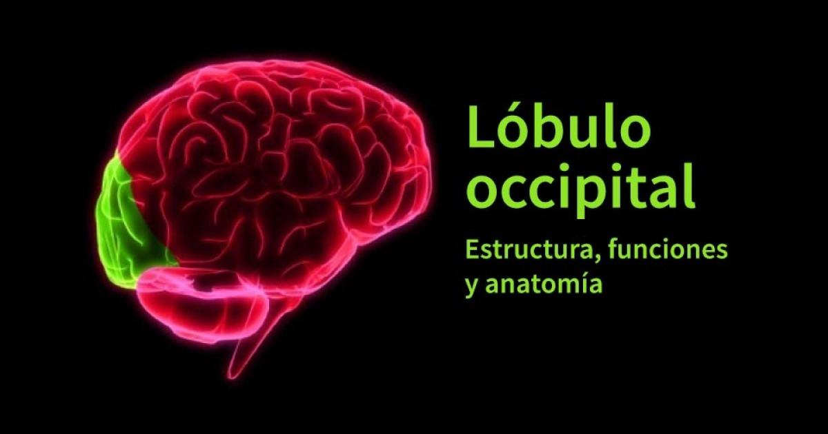 Lóbulo occipital: anatomía, características y funciones