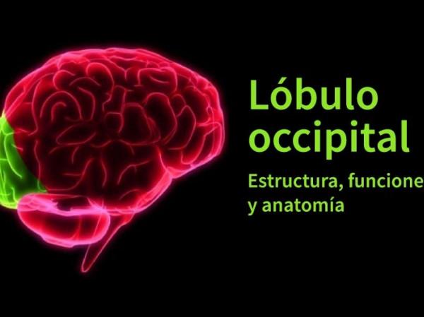 Lóbulo Occipital Anatomía Características Y Funciones