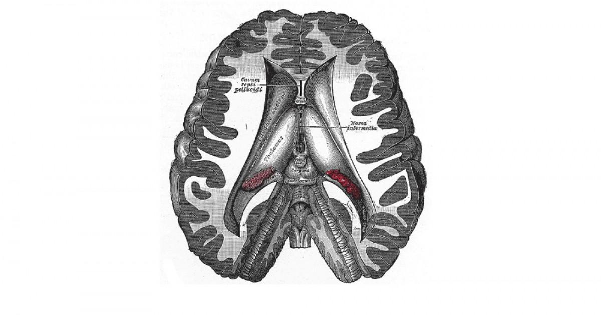 Diencéfalo: estructura y funciones de esta región cerebral