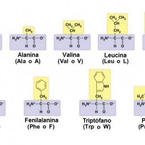 Tabla de aminoácidos: funciones, tipos y características