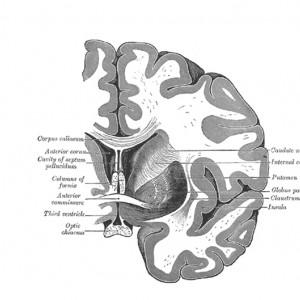 Globo pálido: estructura, funciones y trastornos asociados
