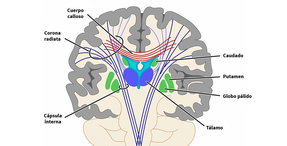 Putamen: estructura, funciones y trastornos relacionados