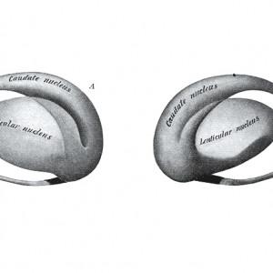 Núcleo caudado: características, funciones y trastornos