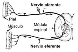 Neurona aferente eferente