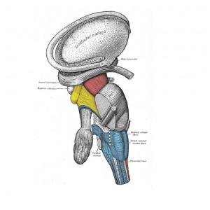 Núcleo lenticular: partes, funciones y trastornos asociados