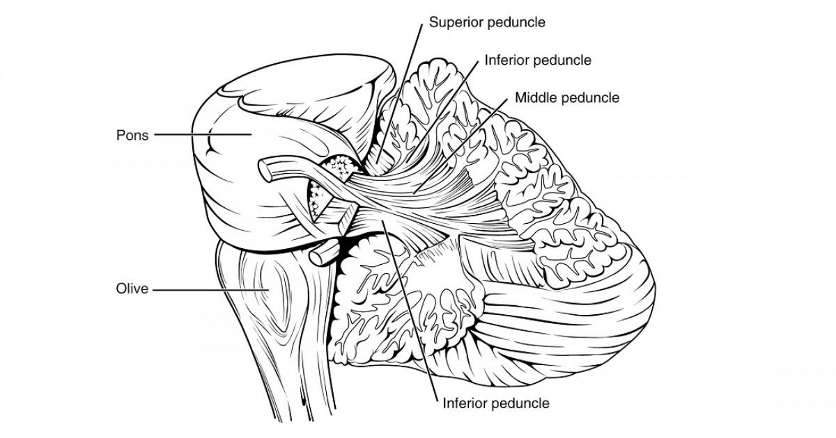 Pedúnculos cerebrales: funciones, estructura y anatomía