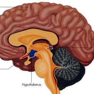 Núcleo supraquiasmático: el reloj interno del cerebro